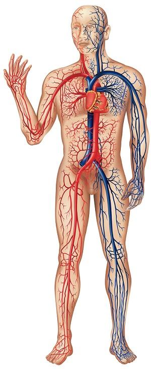 le système cardio vasculaire