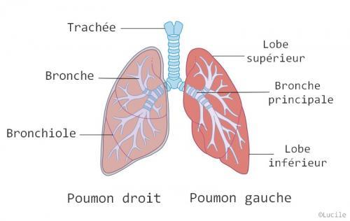 les plantes médicinales qui vont soigner vos poumons