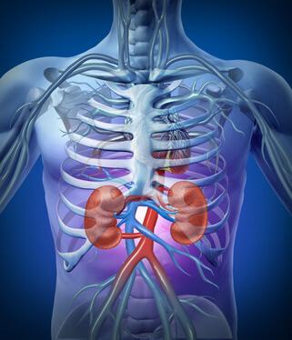 La position des reins dans le dos