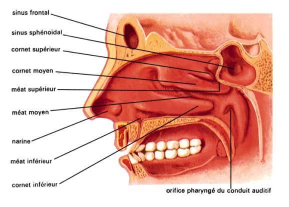 les maladies ORL peuvent être traitées par les plantes