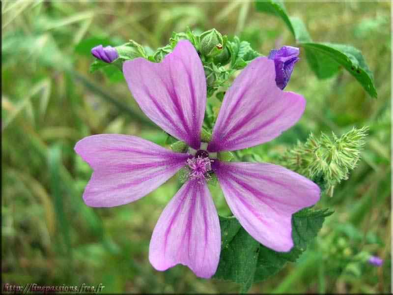 La Mauve, une des plantes intéressante dans la constipation