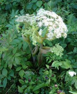 L'Angélique une des plantes pour lutter contre le stress | phyto-soins