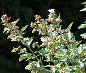 Les gélules lax-mensan sont composées de plantes médicinales laxatives efficace contre les constipations.