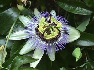 La passiflore: une plante pour lutter contre le stress | phyto-soins
